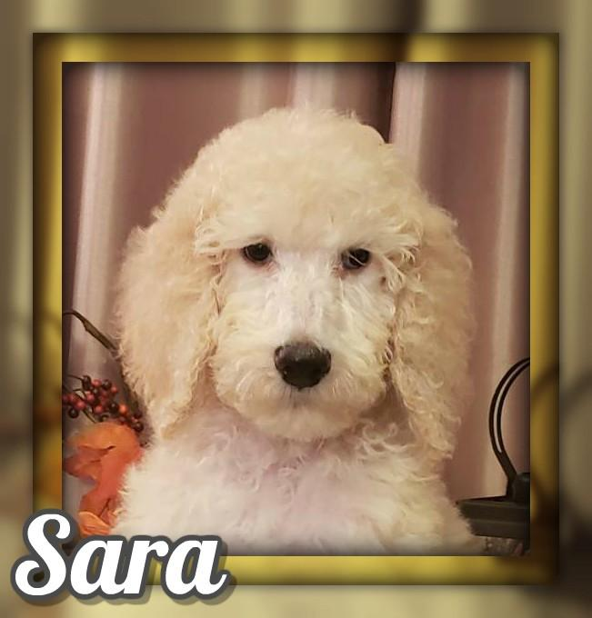Sara Female Standard Poodle