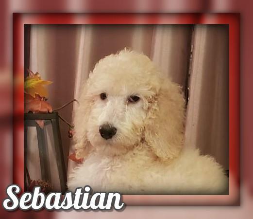 Sebastian Male Standard Poodle