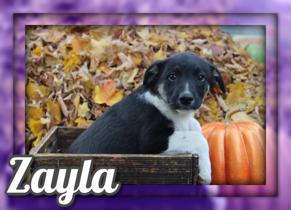 Zayla Female Australian Cur Mix