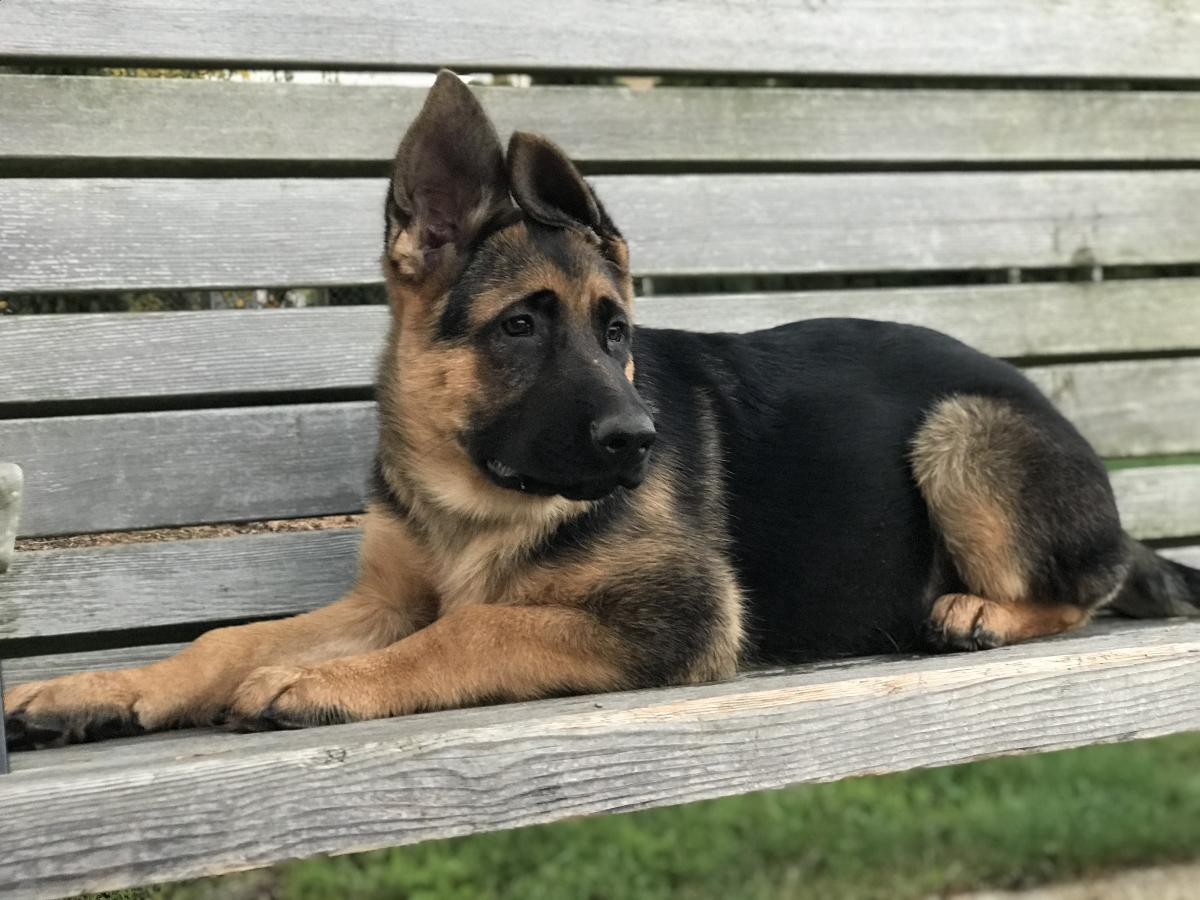 AKC purebred german shepherd