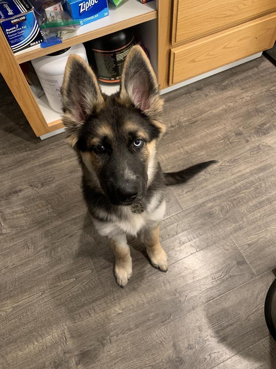 German Shepard husky mix puppy