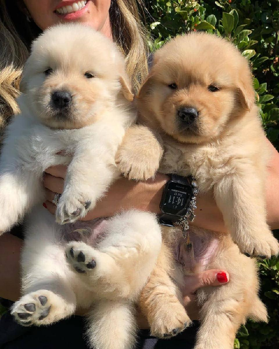 Beautiful Scarlet face Golden Retriever Puppies