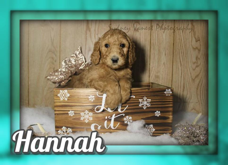 Hannah Female AKC Standard Poodle