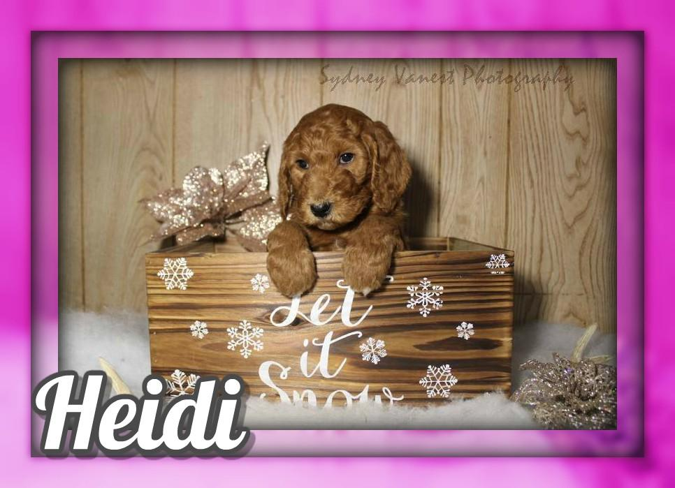 Heidi Female AKC Standard Poodle