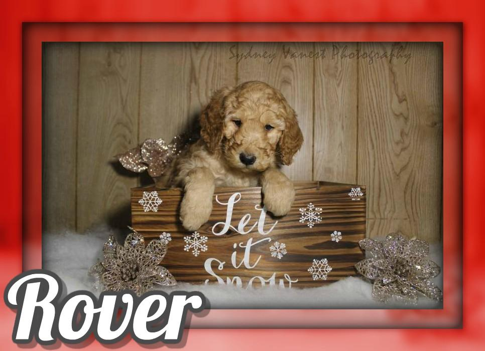 Rover Male AKC Standard Poodle
