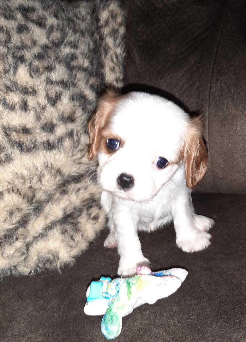 AKC registered King Charles Cavalier puppy