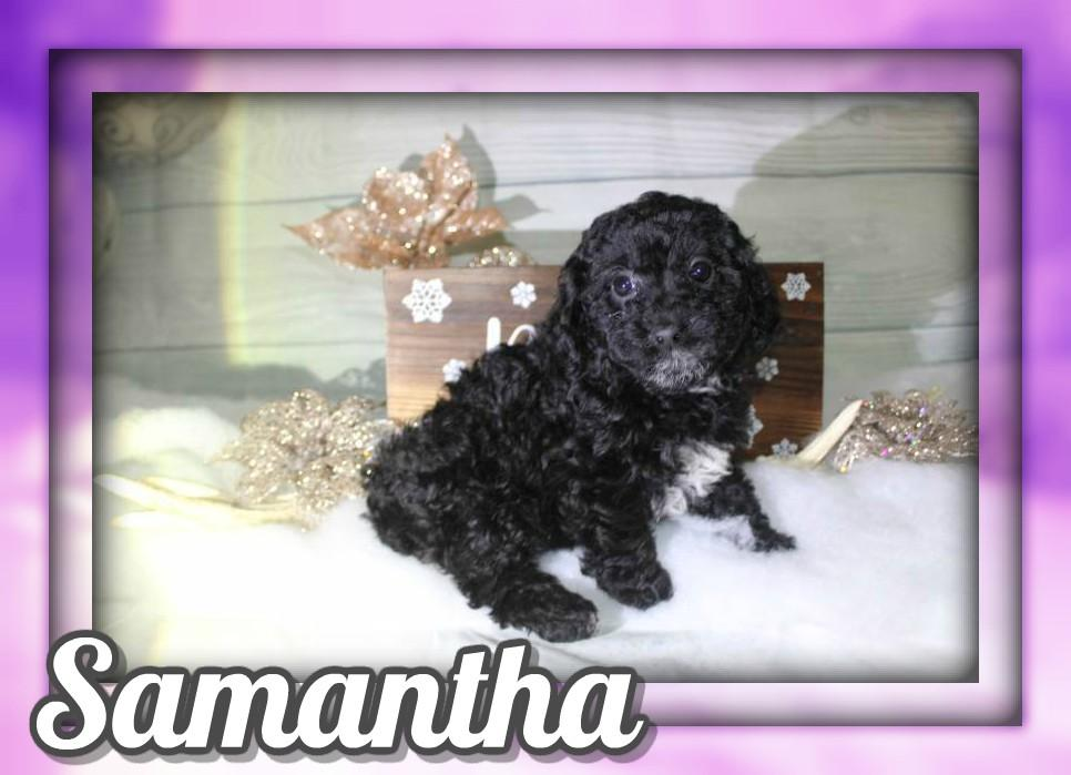 Samantha Female ACA Mini Poodle