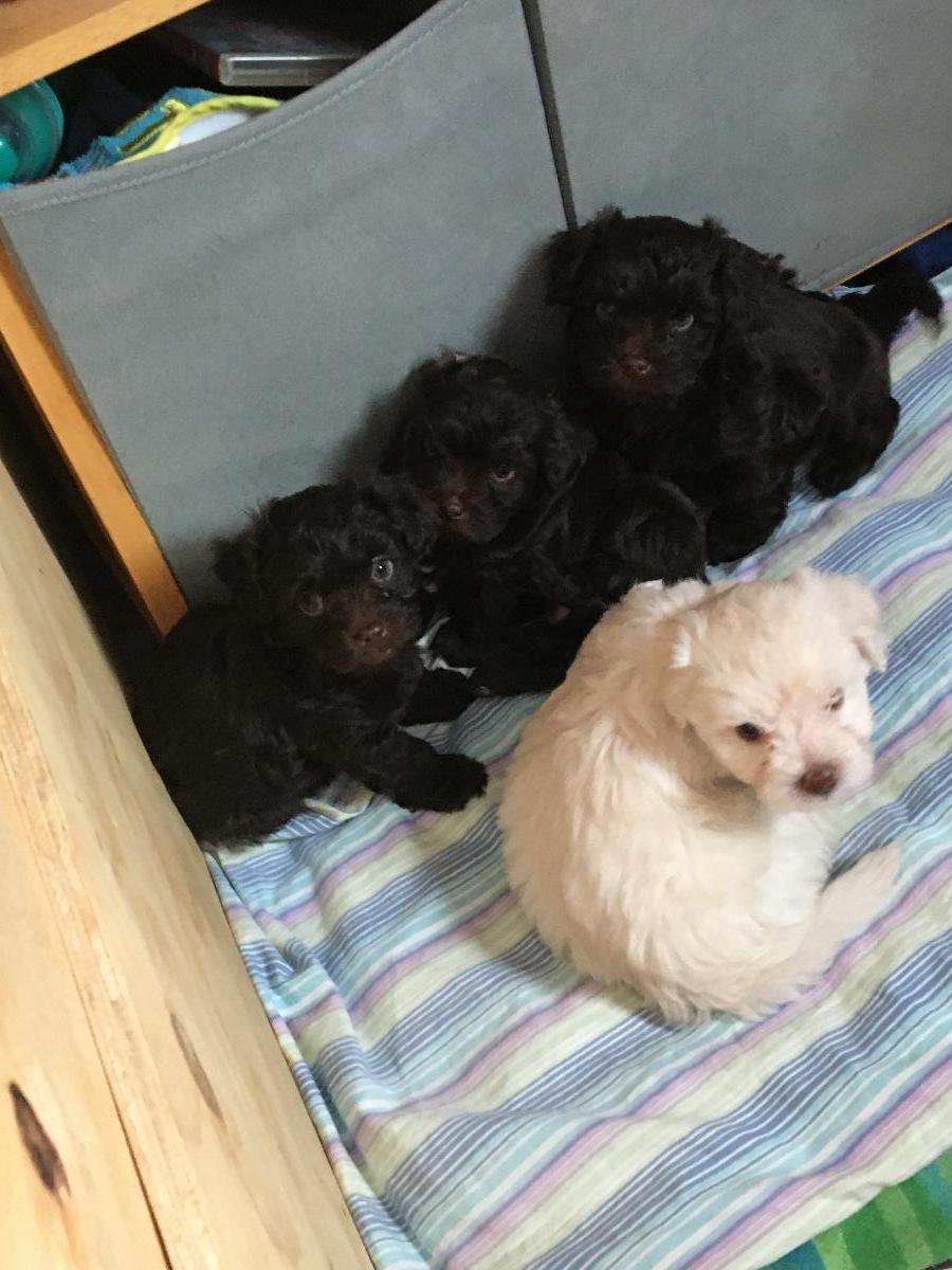 Havapoo Puppies for Sale