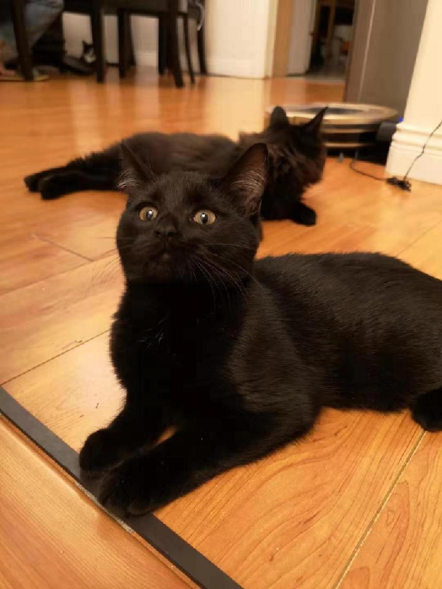 Kitten for Sales