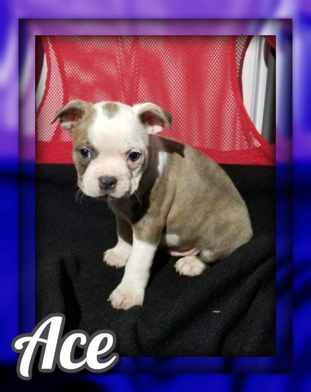 Ace AKC Male Boston Terrier