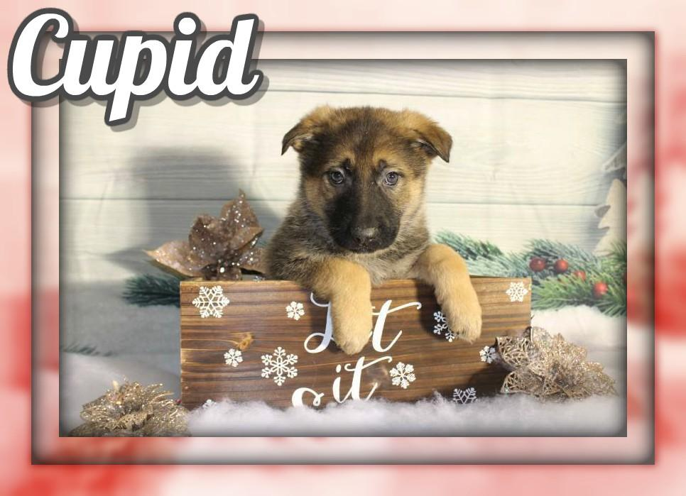 Cupid Female AKC German Shepherd