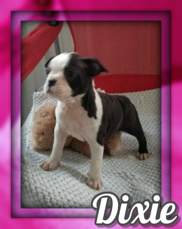 Dixie Female AKC Boston Terrier