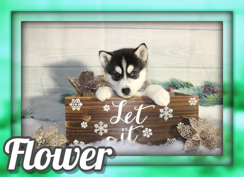 Flower Female ACA Siberian Husky