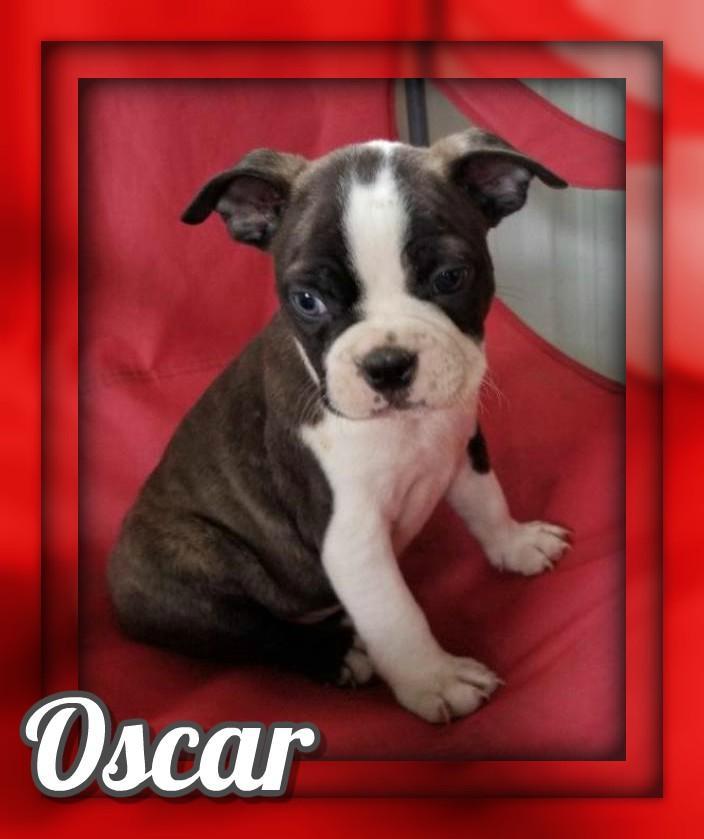 Oscar AKC Male Boston Terrier