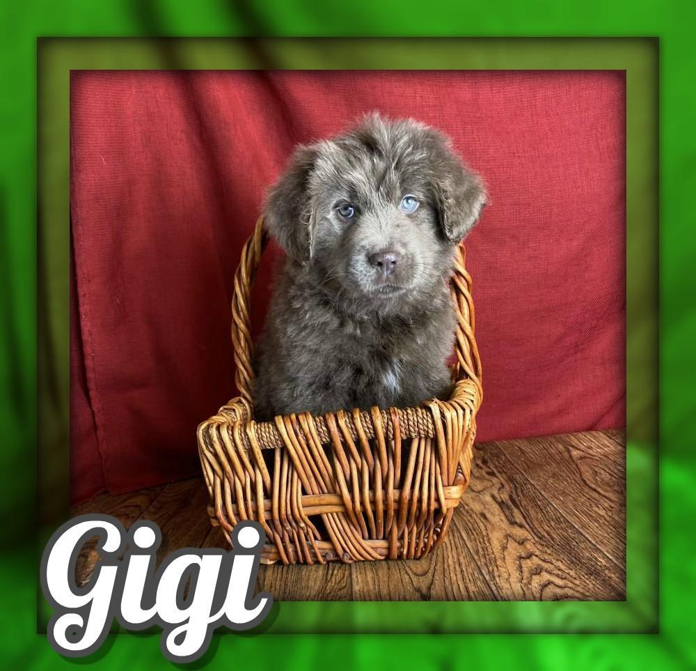 Gigi Female Newfie/Aussie Mix