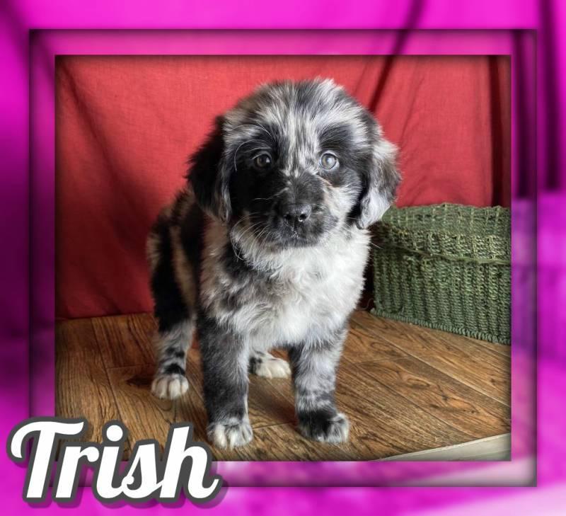Trish Female Newfie/Aussie Mix