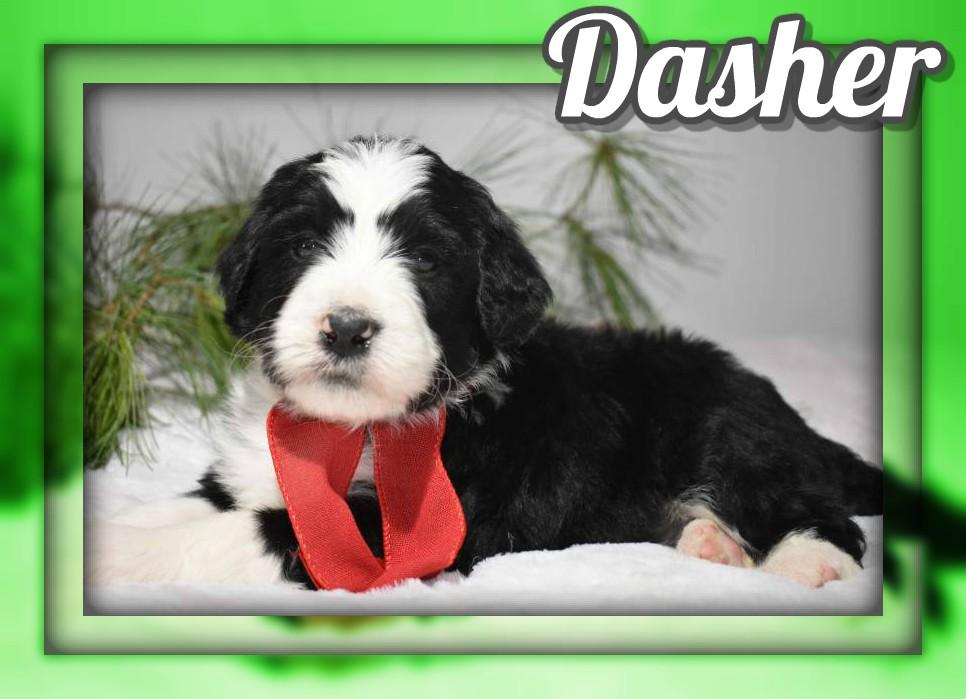 Dasher Male Bernedoodle