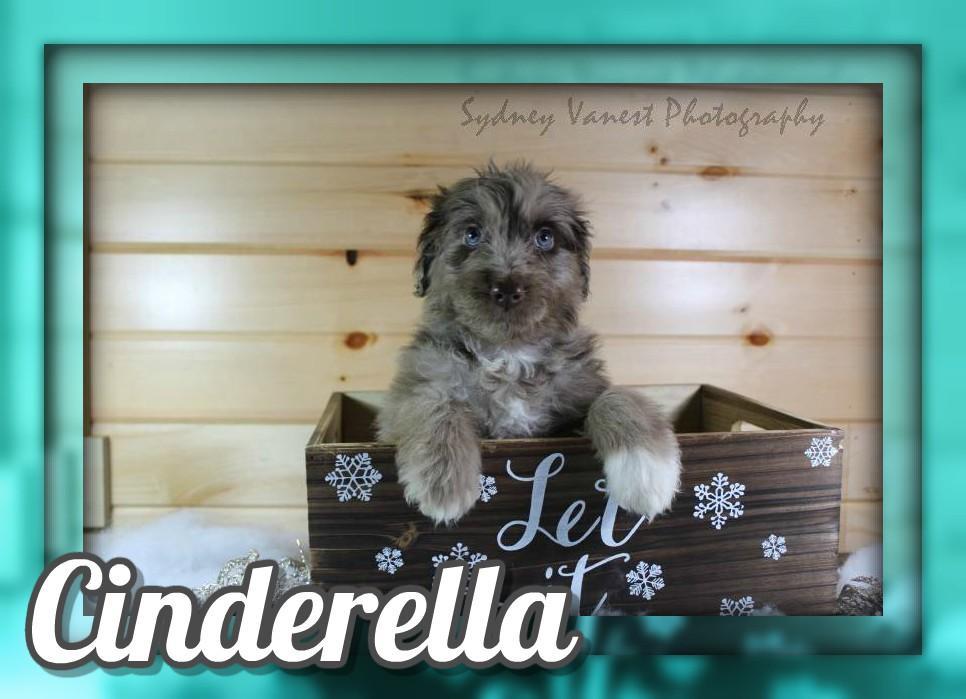 Cinderella Female Aussiedoodle