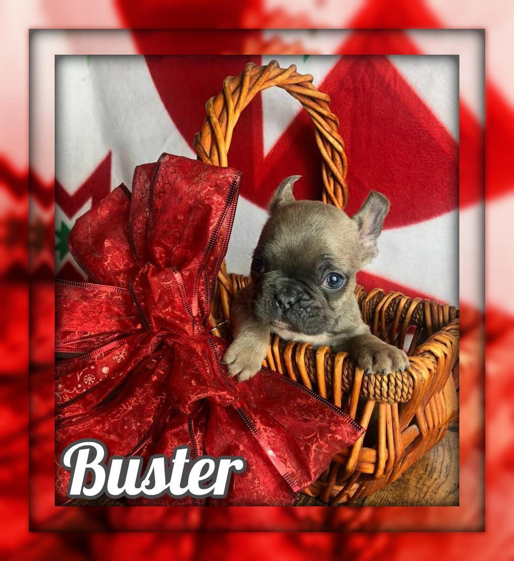 Buster AKC Male French Bulldog