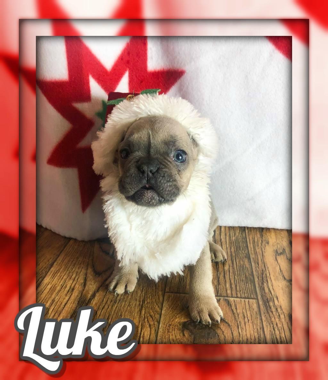 Luke AKC Male French Bulldog