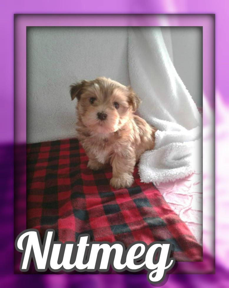 Nutmeg Female Morkie