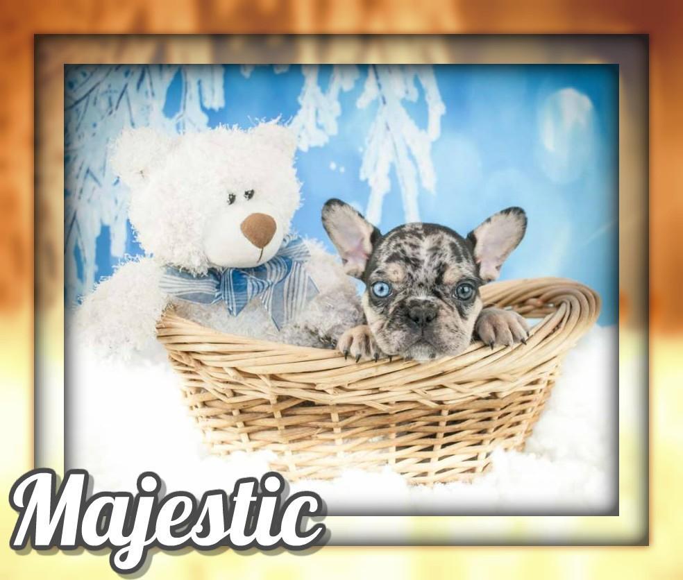 Majestic AKC Male French Bulldog