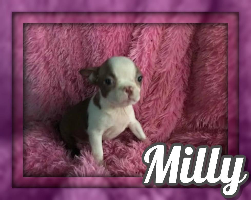 Milly Female Boston Terrier