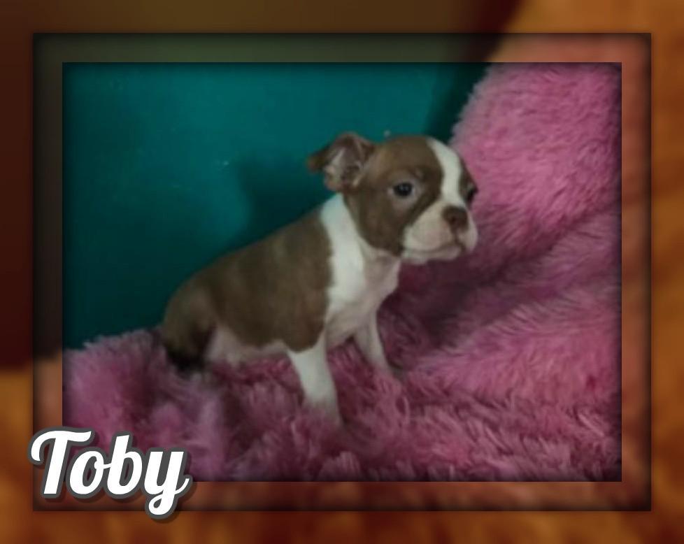 Toby Male Boston Terrier