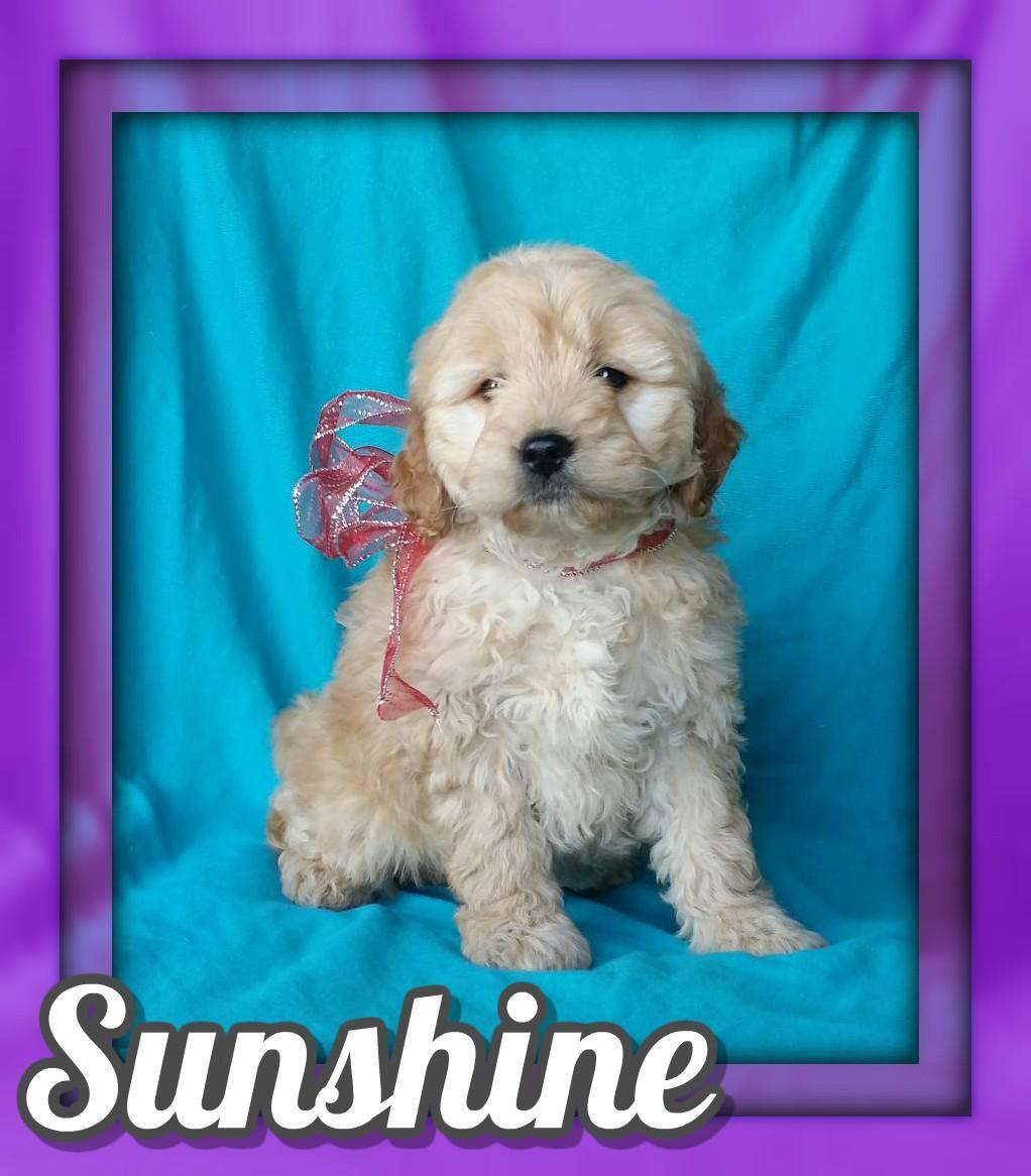 Sunshine Female Mini Goldendoodle