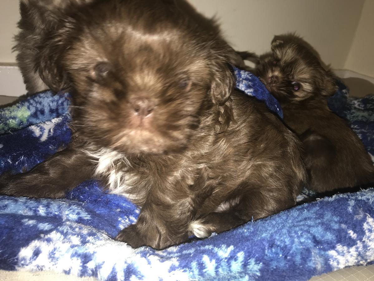 Cute Chocolate Female Shih Tzu Puppy Available