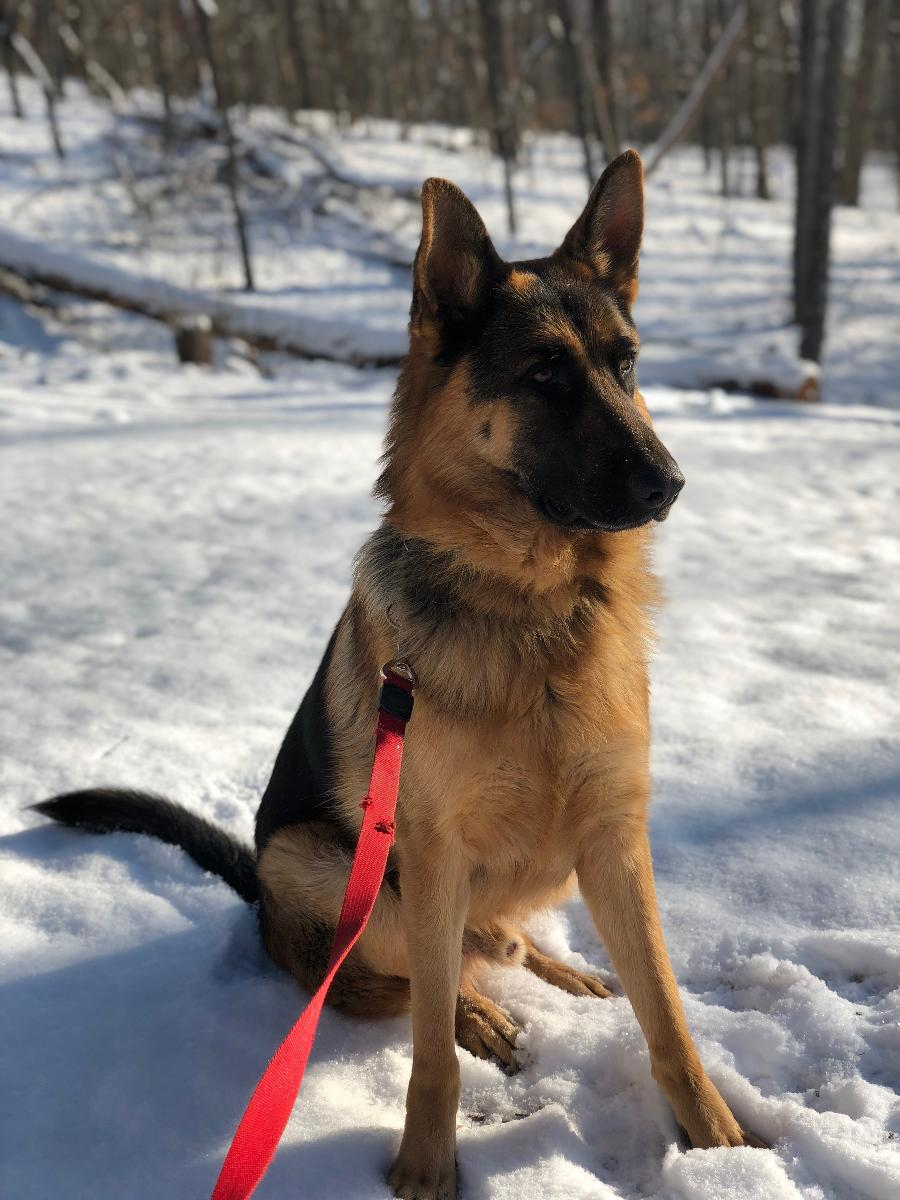 3 year old trained purebred German Shepherd