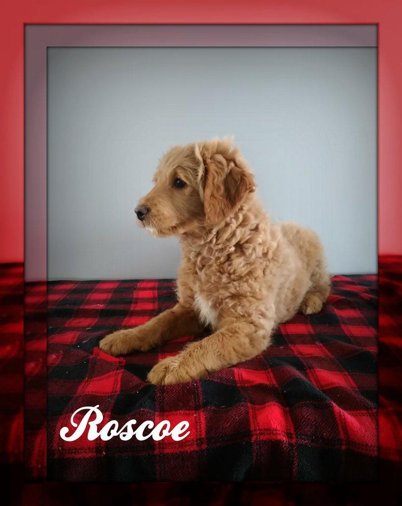 Roscoe Male Mini Goldendoodle