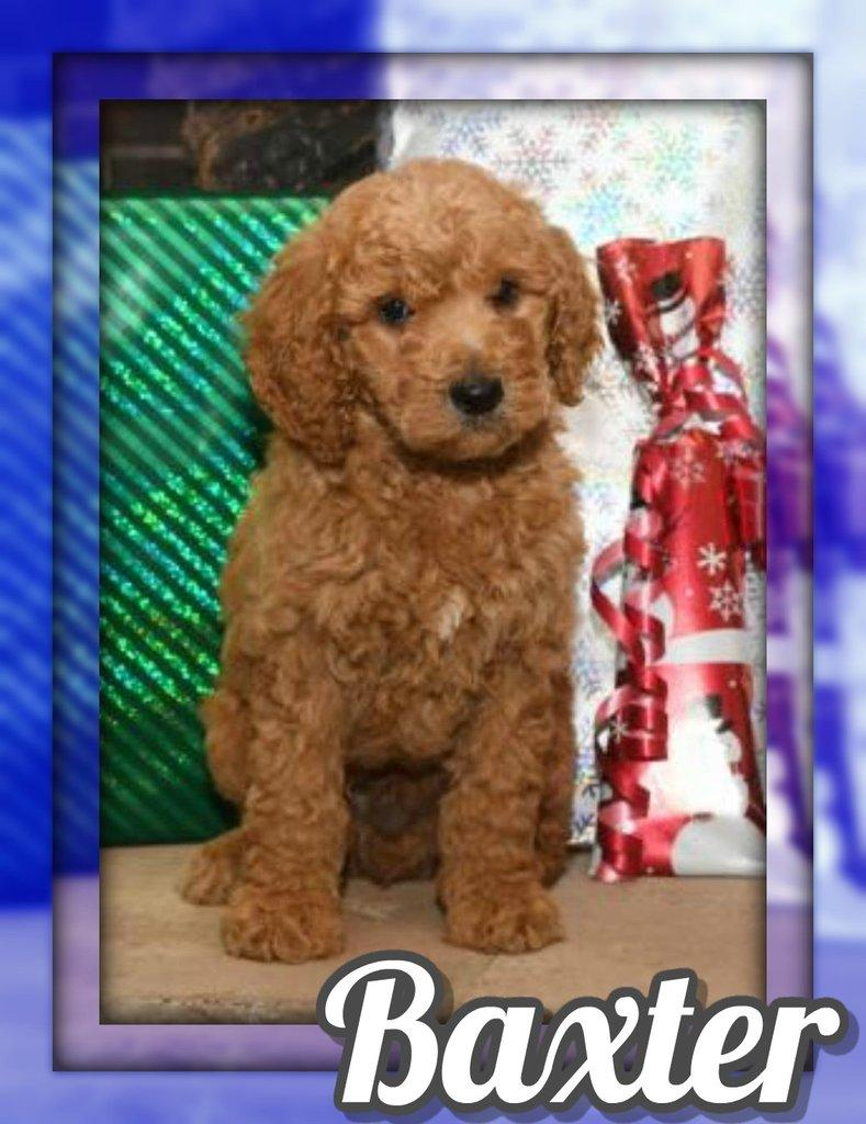 Baxter Male Standard Poodle