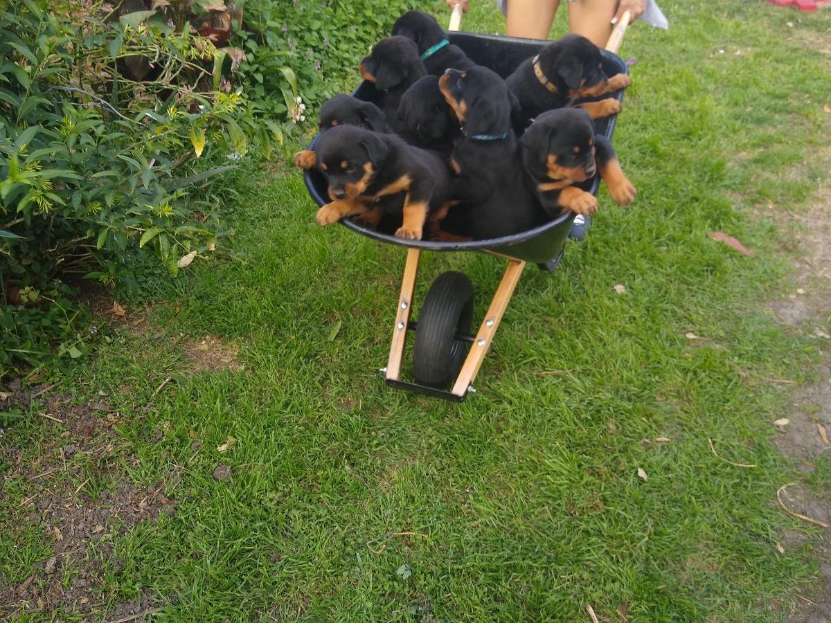 AKC Registered Rottweiler Pups