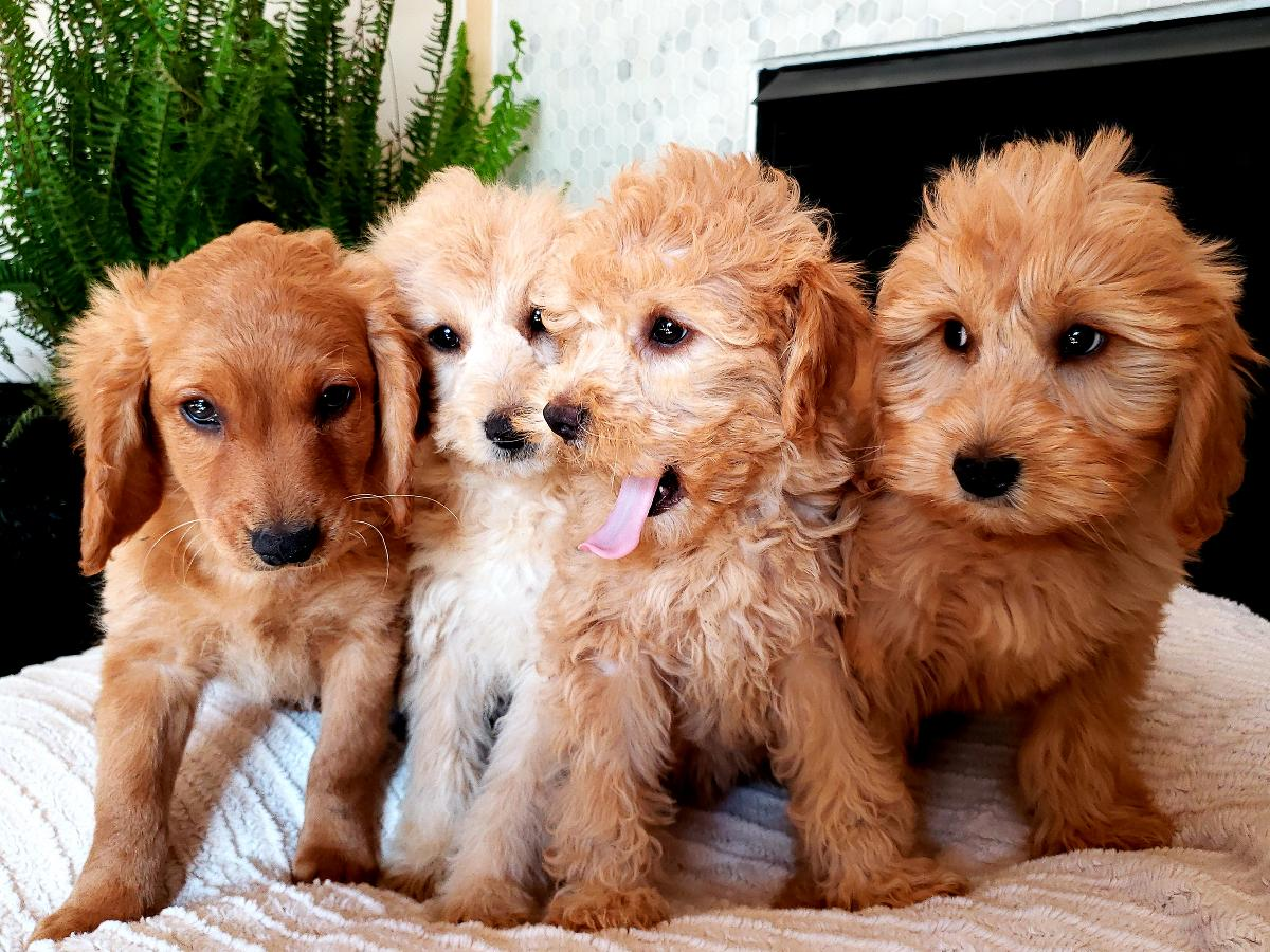 Beautiful F1B Mini Goldendoodle Puppies