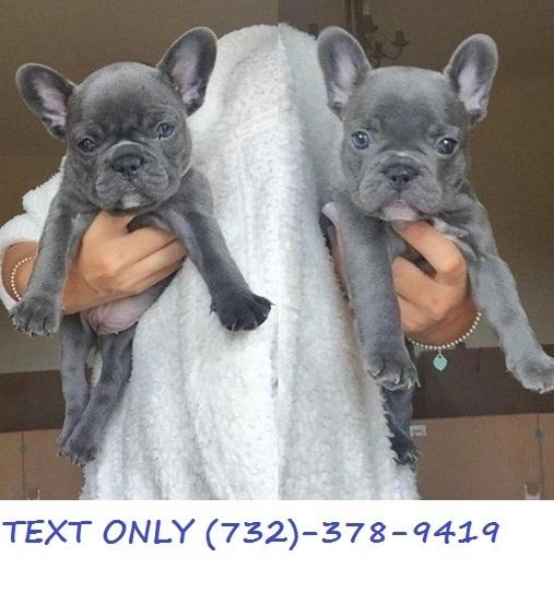 Full Blood French Bull Puppies available