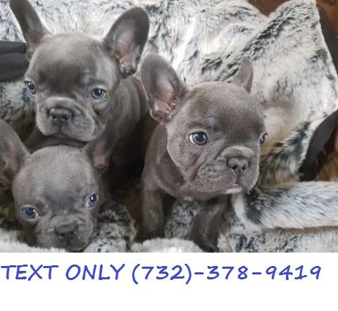Terrific!Blue French Bulldog puppies
