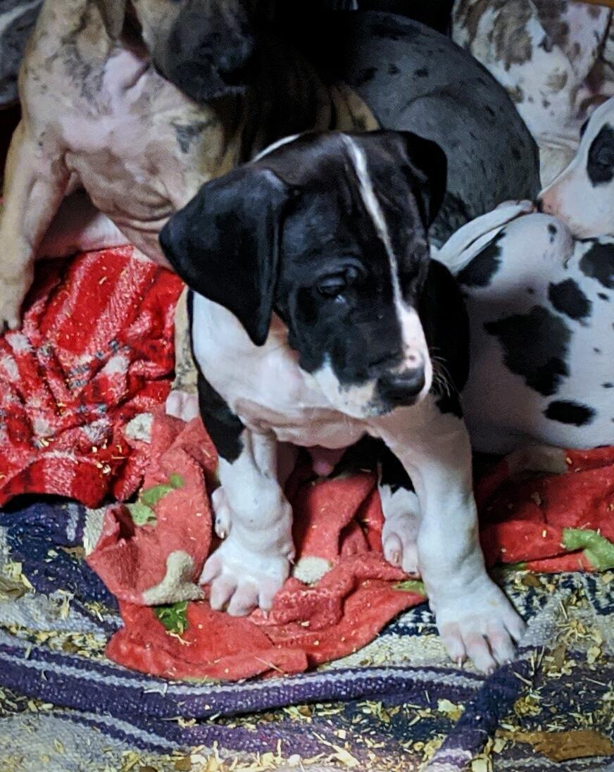 AKC registered Great Dane pups