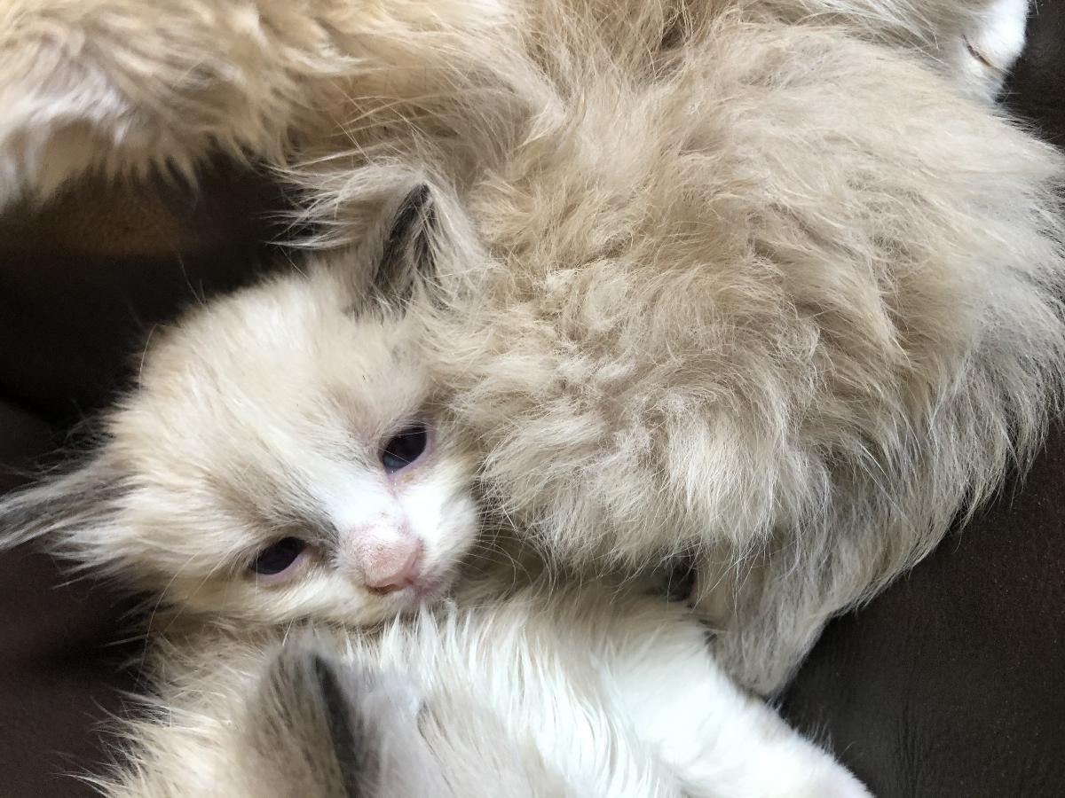 Ragdoll kittens. Laid back and sweet