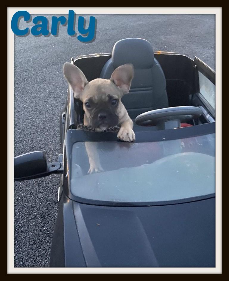 Carly Male French Bulldog