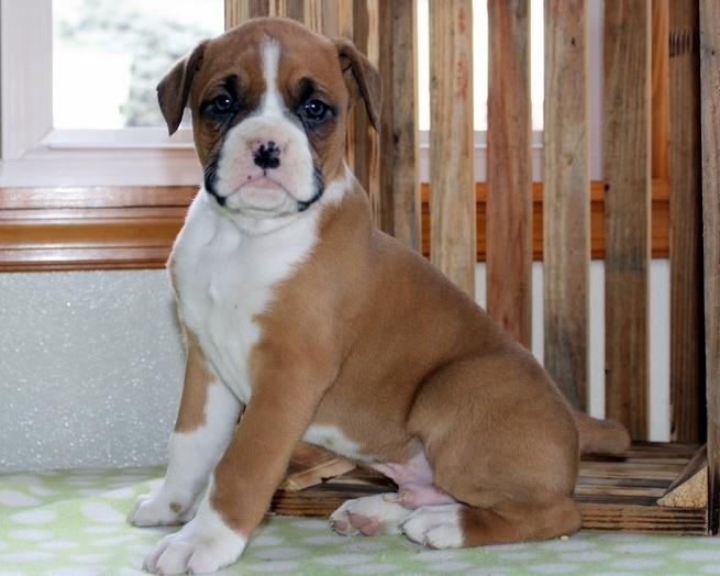Sitive! Boxer puppies for sale