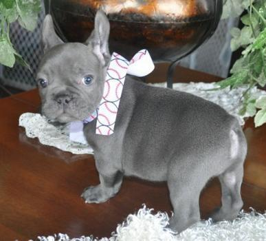Tic!Blue french bulldog puppies for sale