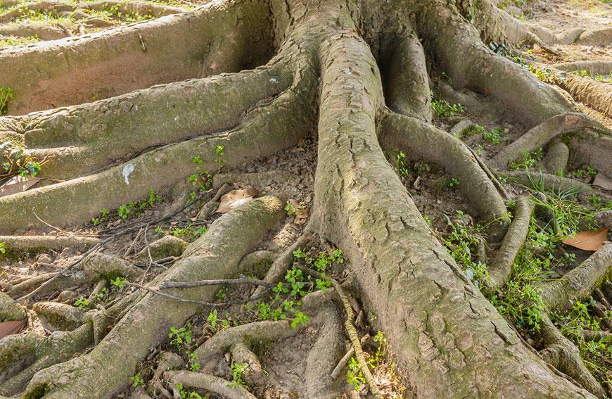 The Proper Way For Caring For Tree Roots