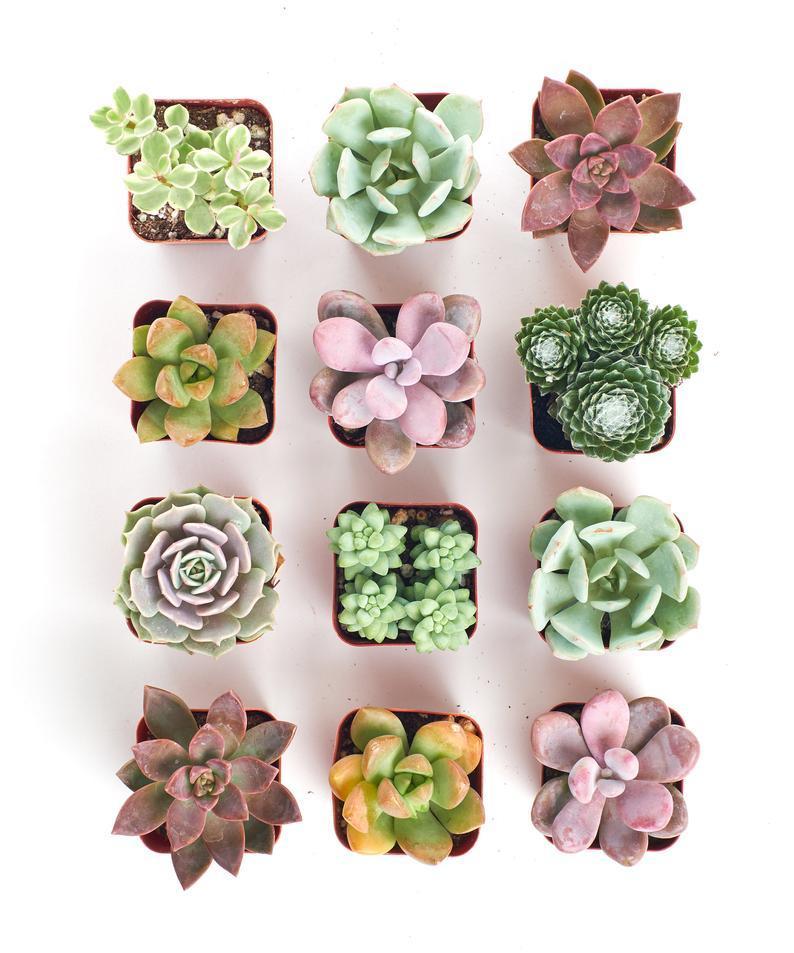 Succulent Mix