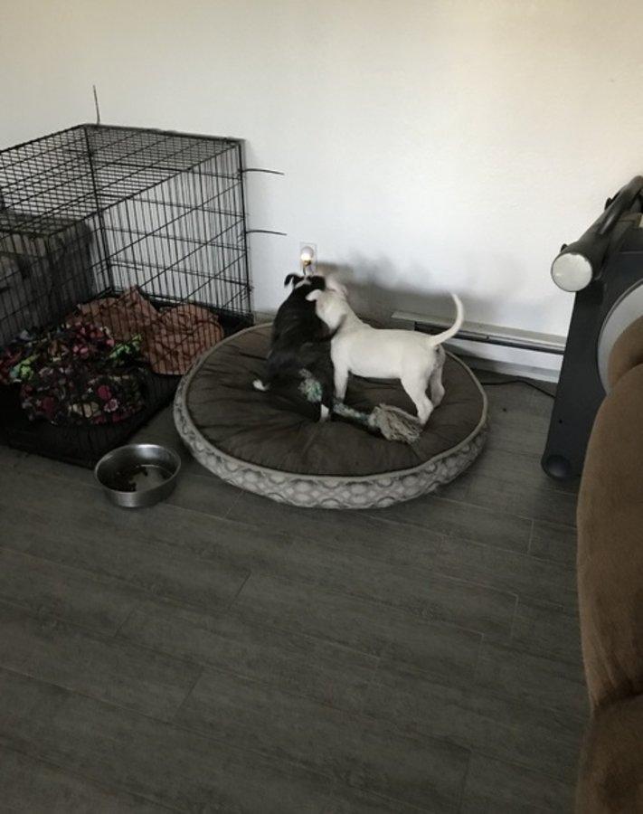 English Bull Terrier Pupps AKC Registered