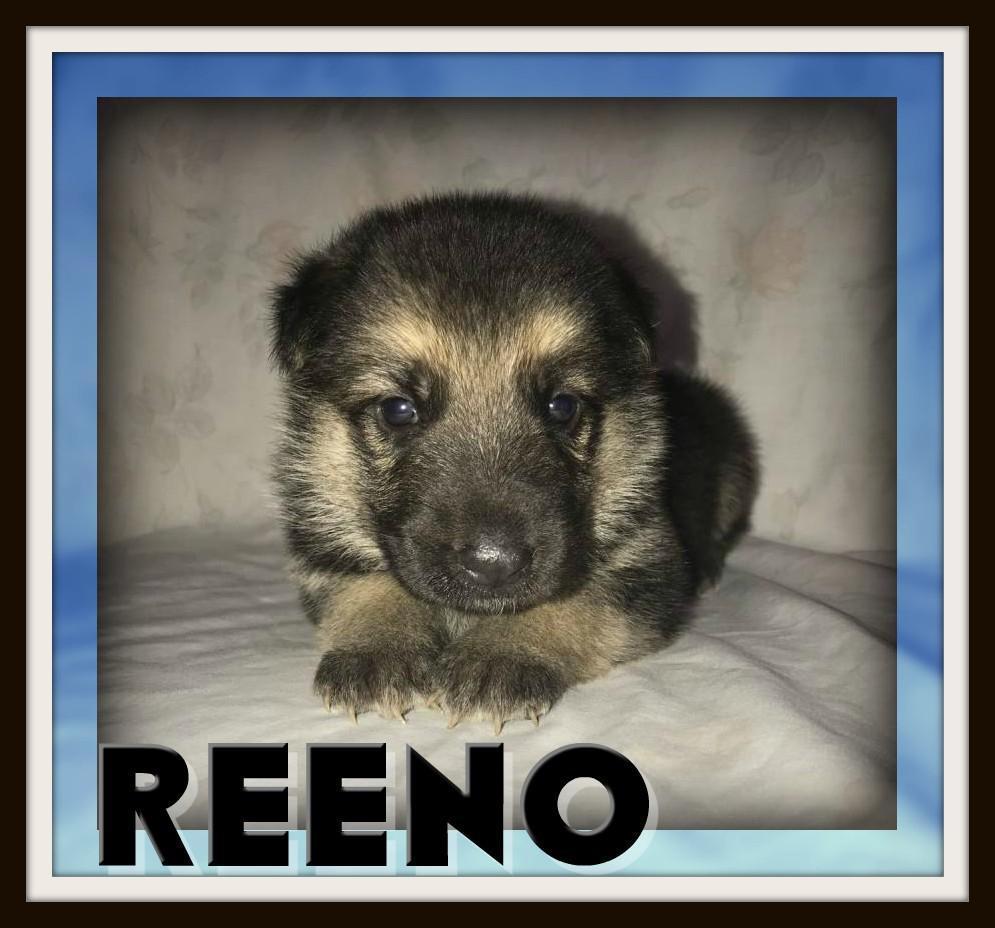 Reeno Male AKC German Shepherd
