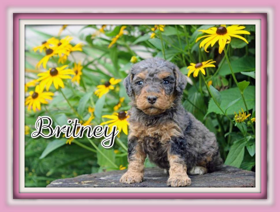 Britney Female F1B Mini Bernedoodle